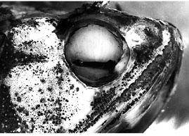 The Eye of Pantodon